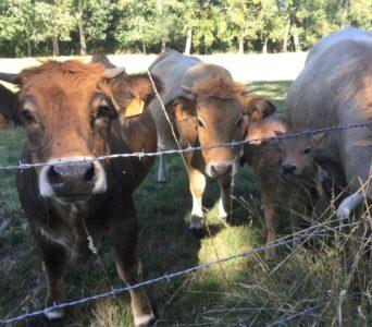 Vaches race Aubrac, dans notre village