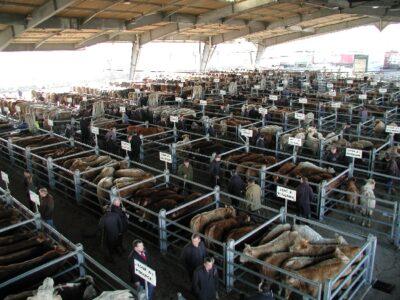 Visite guidée du marché aux bestiaux - mardi matin - sur réservation